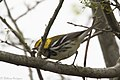 Black-throated Green Warbler ( ?? first winter male ) Mission TX 2018-03-01 08-19-49 (25753136307).jpg