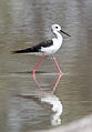 Black-winged Stilt, Common Stilt, or Pied Stilt, Himantopus himantopus at Mapungubwe National Park, Limpopo, South Africa (18013360828).jpg