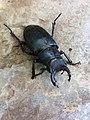 Black Beetle.jpg
