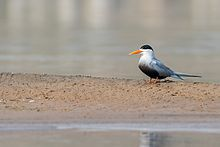 Black Bellied Tern.jpg