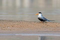 240px black bellied tern