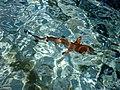 Black Tip Reef Shark (9132134860).jpg