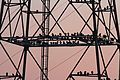 Black Vultures at sunrise - Coragyps atratus, Conowingo Dam, Darlington, Maryland.jpg