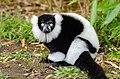 Black and white Ruffed Lemur (24423638464).jpg