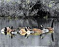 Black and white and color geese.jpg