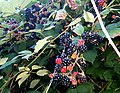Blackberry fruits15.jpg