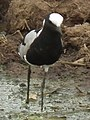 Blacksmith lapwing in Tanzania 3125 cropped Nevit.jpg