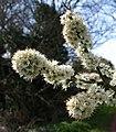 Blackthorn flowers, Preston Park - geograph.org.uk - 748318.jpg