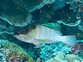 Blacktip grouper (Epinephelus fasciatus) (31785683967).jpg
