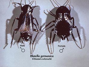 Männchen und Weibchen der Gemeinen Küchenschabe (Blatta orientalis)