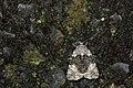 Blenina quinaria (35184314360).jpg