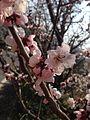 Blossoms(2014).JPG