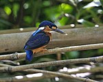 Blue-eared Kingfisher (Alcedo meninting) - Flickr - Lip Kee (1).jpg