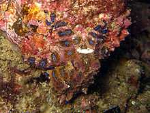 Blue-ringed-octopus.jpg