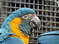 Blue-throated Macaw 02.jpg