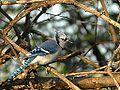 Blue Jay (6253953531).jpg