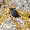 Blue Rock Thrush (Monticola solitarius) (8521271498).jpg