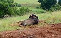 Blue Wildebeest (4318647863).jpg