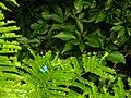 Blue butterfly, Kakum Nationalpark.JPG