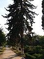 Blue spruce, Shevchenka 30, Kamianets-Podilskyi (13.08.17).jpg