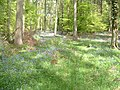 Bluebells at Serridge - geograph.org.uk - 1297185.jpg