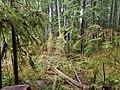 Bogachiel State Park rainforest.jpg