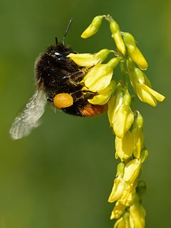 Bumblebee Genus of insect