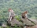 Bonnet Macaques Macaca radiata Kanheri SGNP Mumbai by Raju Kasambe DSCF0056 (1) 09.jpg