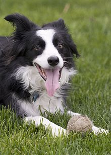 Border Collie panting.jpg