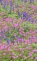 Border flowers (37589597).jpg