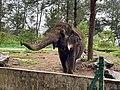 Borneo Elephant in Brunei.jpg