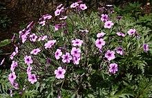 Geranium Maderense , Madeira Cranesbill Plant, Native To The ...
