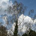Botanischer garten birke und himmel.JPG