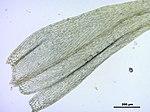 Brachythecium salebrosum (f, 145052-482551) 3089.JPG
