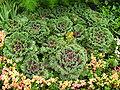 Brassica (decorative cultivar) 04.jpg