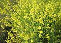 Brassica mustard farm in Andhra Pradesh PIC 0020.jpg