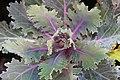Brassica oleracea Coral Queen 0zz.jpg
