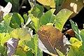 Brassica oleracea var. botrytis Snow Crown 1zz.jpg