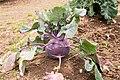 Brassica oleracea var. gongylodes 01.jpg