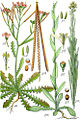 Brassicaceae spp Sturm16.jpg
