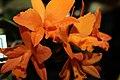 Brassolaeliocattleya Love Passion x Fuchs Orange Nuggett 1zz.jpg
