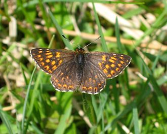 Riodinidae - Duke of Burgundy (Hamearis lucina)