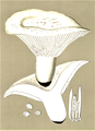 Bresadola - Lactarius vellereus.png