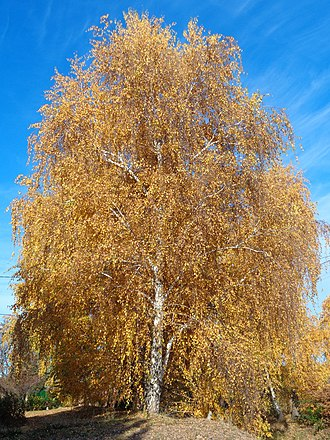 Betula pendula - Tree in autumn