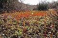 Bristly Haircap Moss (Polytrichum piliferum) (8692093759).jpg