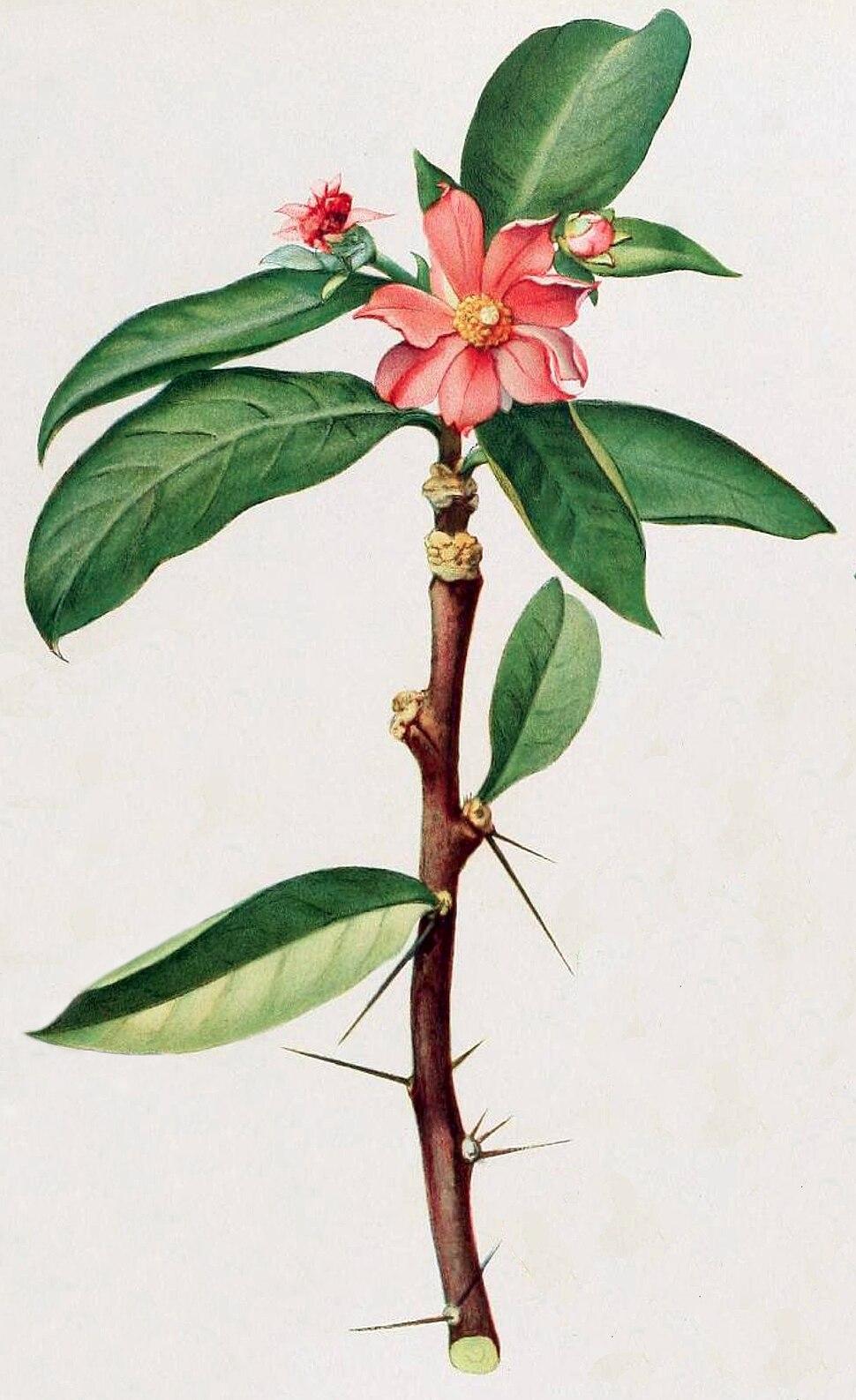 Britton & Rose Vol 1 Plate III (Pereskia grandifolia)