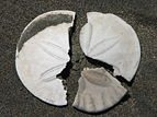 Broken sanddollar pieces.jpg