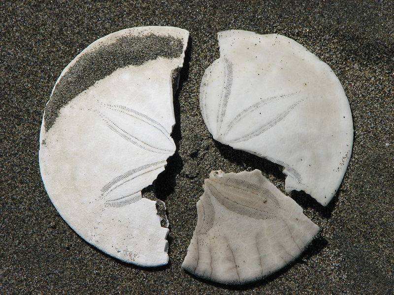File:Broken sanddollar pieces.jpg