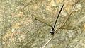 Bronze damselfy HNP dorsal (16258768035).jpg