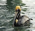 Brown Pelican at the Indian River Lagoon - Flickr - Andrea Westmoreland.jpg